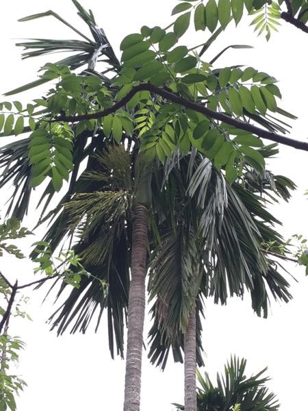 Areca Nut tree used in Betel Nut